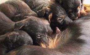 Gestação Canina - Blog Finofaro