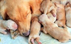 Quando desaninhar um filhote de cão e os primeiros cuidados - Blog Finofaro