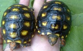 Tartaruga de Estimação - Blog Finofaro