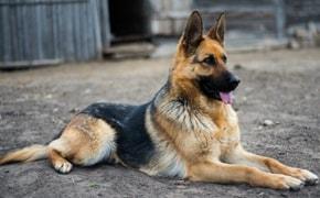 Pastor Alemão, saiba tudo sobre esta Raça de Cachorro -Finofaro Blog