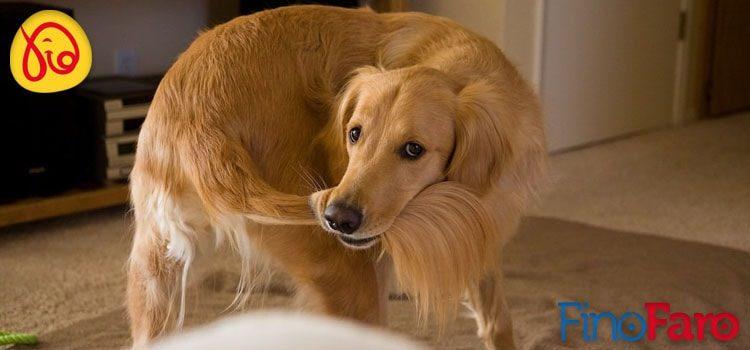 Entenda porque o seu cão persegue sua própria cauda