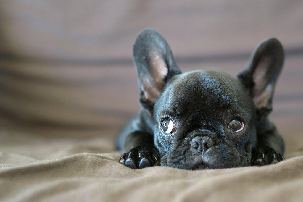 Com a sua carinha enrugada e orelhas de morcego, o cachorro Buldogue Francês é uma graça. Raça ideal para quem procura um cão de companhia. Amoroso e divertido, se dá bem com crianças. Devido ao seu tamanho é uma boa raça para quem mora em apartamento. Em média 14Kg em 35cm de altura quando adulto.