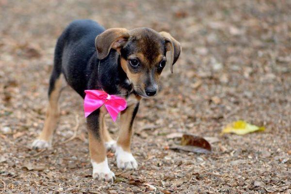 O cão vira-lata, conhecido pela sigla SRD (Sem Raça Definida) é amado por muitos e, ainda assim é um dos animais que mais sofre com o abandono no Brasil. Defendido pelos amantes dos animais, esse cachorro ganha boa parte de sua popularidade em função da sua natureza desconhecida – que faz com que seja único.