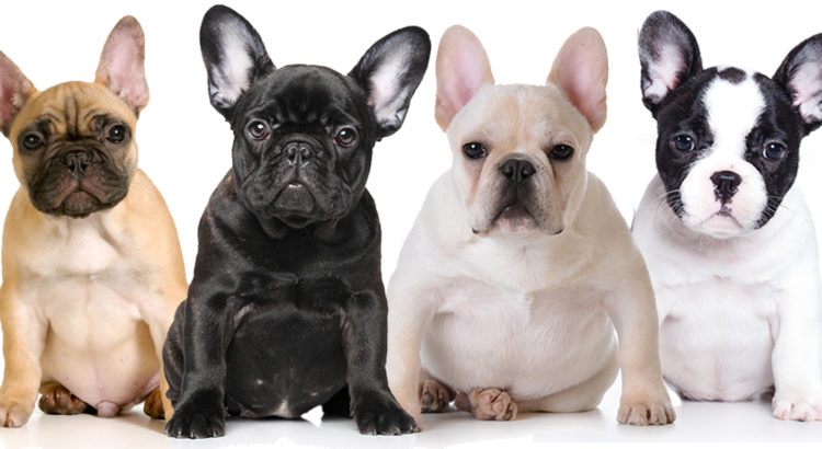 Saiba Tudo sobre a raça Bulldog Francês | Blog Finofaro
