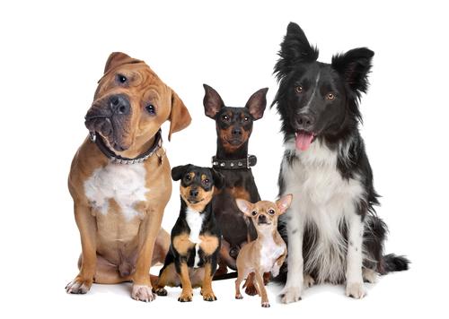 São quase 40 milhões de cachorros no Brasil. Eles são os animais preferidos pelos brasileiros. O cachorro compartilha com o seu dono um amor incondicional, é companheiro, divertido e está sempre presente. Vira-lata, Poodle, Pincher, Labrador Retriever e Yorkshire Terrier são as raças favoritas no Brasil.