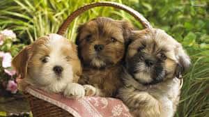 Saiba tudo sobre a raça de cachorro Shih-tzu - Shitzu