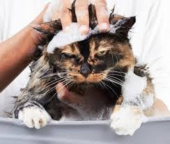Banho em gatos é necessário ou não, será um Mito ou verdade. Dicas.
