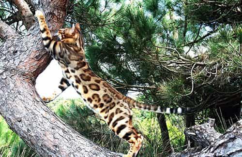 Conheça a Raça de Gato Bengal, duvidas e curiosidades sobre gatos.