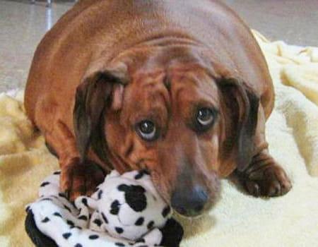Dicas especiais para ajudar seu cachorro obeso a emagrecer