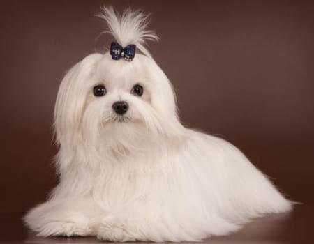 Tudo sobre a raça de cachorro Maltês, curiosidades e dicas