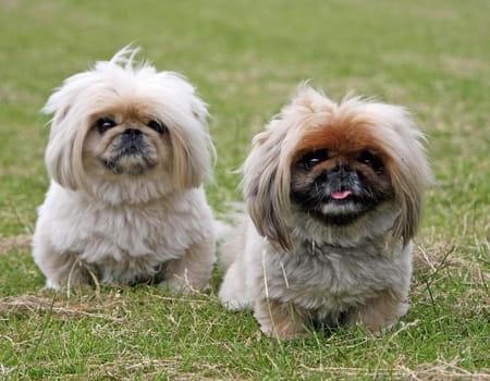 Tudo sobre a raça de cachorro Pequinês, dicas e curiosidades